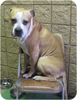 American Bulldog Mix Dog for adoption in Hayden, Idaho - Rocky