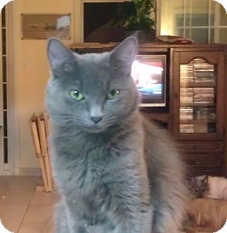 Domestic Shorthair Cat for adoption in Orlando, Florida - Queeny
