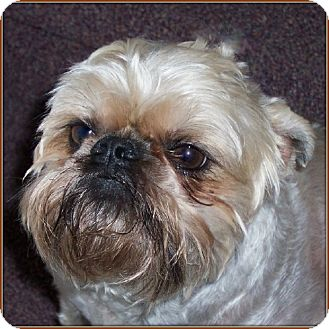 Brussels Griffon Dog for adoption in Seymour, Missouri - GROVER - ADOPTION PENDING