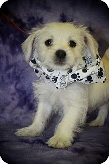 Shih Tzu/Terrier (Unknown Type, Small) Mix Puppy for adoption in Broomfield, Colorado - Starbucks