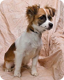 Sheltie, Shetland Sheepdog Mix Puppy for adoption in Anna, Illinois - NEWKIRK