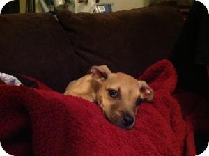 Rhodesian Ridgeback/Pit Bull Terrier Mix Puppy for adoption in Justin, Texas - Maya