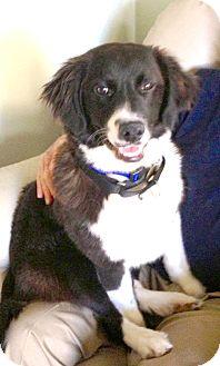 Border Collie Dog for adoption in Richmond, Virginia - Josh
