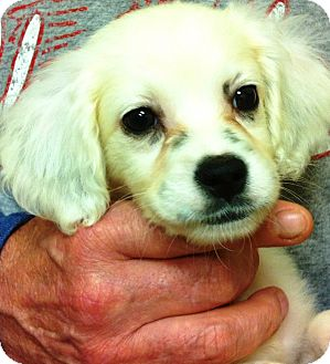 """English Setter Puppy for adoption in Oswego, Illinois - Abby's 8 is e ruff """"Alex"""""""