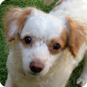 Bichon Frise Mix Dog for adoption in La Costa, California - Amber
