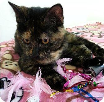 Domestic Shorthair Kitten for adoption in Albion, New York - Elsie