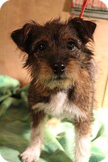Yorkie, Yorkshire Terrier/Schnauzer (Miniature) Mix Puppy for adoption in Greenville, Virginia - Topanga