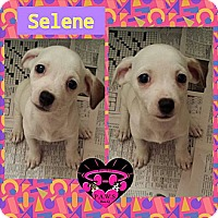 Adopt A Pet :: Selene - Fowler, CA