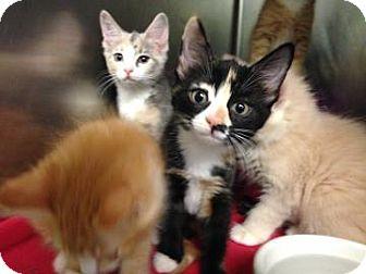 Domestic Mediumhair Kitten for adoption in Lowell, Massachusetts - Milly