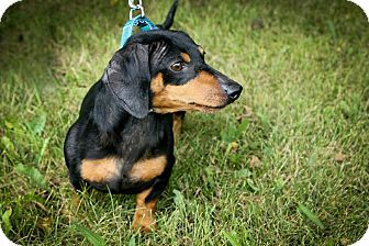 Dachshund Dog for adoption in Anderson, Indiana - Roscoe