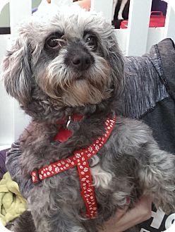 Poodle (Miniature) Mix Dog for adoption in Thousand Oaks, California - Koala