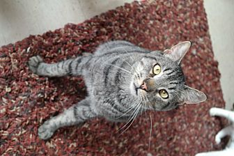 Domestic Shorthair Cat for adoption in San Pablo, California - TOBY