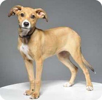 Hound (Unknown Type) Mix Puppy for adoption in Danbury, Connecticut - Maddie