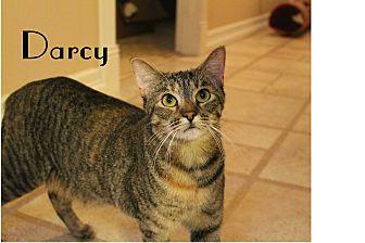 Domestic Shorthair Cat for adoption in Wichita Falls, Texas - Darcy