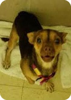 Chihuahua Mix Dog for adoption in Philadelphia, Pennsylvania - Chippie