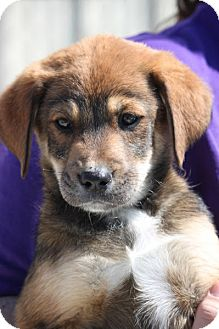 Shepherd (Unknown Type) Mix Puppy for adoption in Jewett City, Connecticut - Willa Fitzgerald-ADOPTED