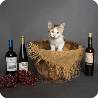 Domestic Shorthair Kitten for adoption in Columbia, Illinois - Zinfandel