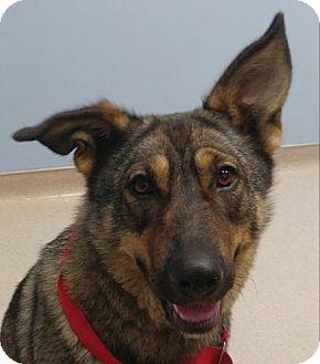 German Shepherd Dog Mix Dog for adoption in Brattleboro, Vermont - Chaia