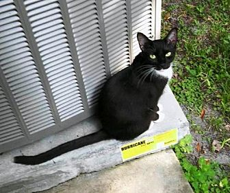 Domestic Shorthair Cat for adoption in DeLand, Florida - TIPPYTAIL-I'm an outside cat
