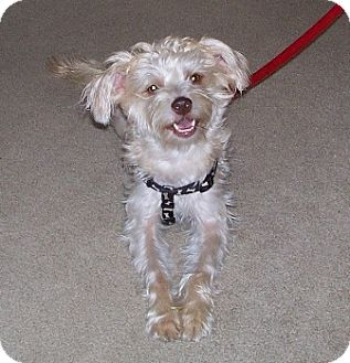 Silky Terrier Mix Dog for adoption in Tipp City, Ohio - Lucy - ADOPTED