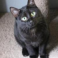 Domestic Shorthair Cat for adoption in Yukon, Oklahoma - Silva