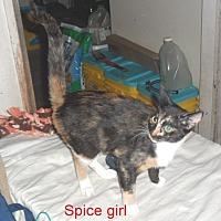 Adopt A Pet :: Spice Girl - Pensacola, FL
