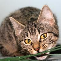 Domestic Shorthair/Domestic Shorthair Mix Cat for adoption in Buffalo, Wyoming - Marlow