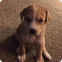 Adopt A Pet :: Bella - Columbia, SC
