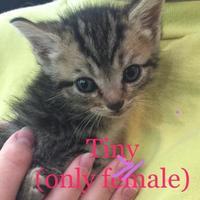 Domestic Shorthair/Domestic Shorthair Mix Cat for adoption in Auburn, Alabama - Tiny