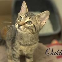 Adopt A Pet :: Oakley - Middleburg, FL
