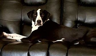 Labrador Retriever/Border Collie Mix Dog for adoption in Houston, Texas - Panda