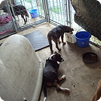 Adopt A Pet :: Tres - Jamestown, TN