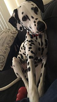Dalmatian Dog for adoption in Mandeville Canyon, California - Killian
