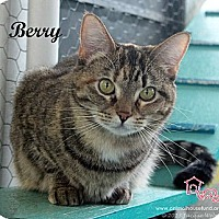 Domestic Shorthair Cat for adoption in St Louis, Missouri - Berry