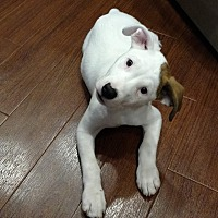 Adopt A Pet :: Chester - Coral springs, FL
