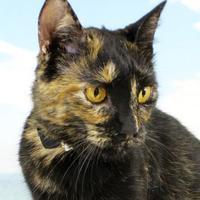 Adopt A Pet :: Goldie - Harrisonburg, VA