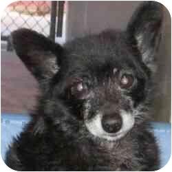 Pomeranian Mix Dog for adoption in Berkeley, California - Theodore