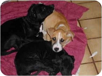 Boxer Mix Puppy for adoption in Vista, California - Custer