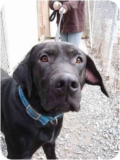 Labrador Retriever Dog for adoption in Kellogg, Idaho - Soupy