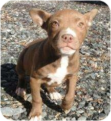 Pit Bull Terrier Mix Puppy for adoption in Spruce Pine, North Carolina - Samantha