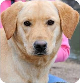 Labrador Retriever/Golden Retriever Mix Dog for adoption in Wakefield, Rhode Island - JASPER(THE ULTIMATE COMPANION!