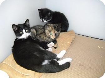 Domestic Shorthair Kitten for adoption in Trenton, New Jersey - Chrissy Janet & Jack (foster)