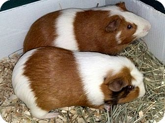 Guinea Pig for adoption in Lewisville, Texas - Peeta and Gale