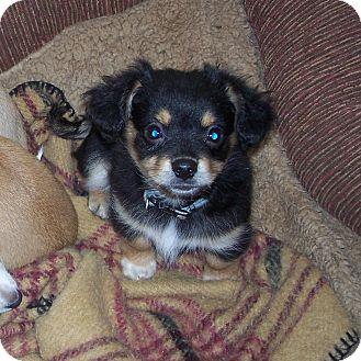 Chihuahua Mix Puppy for adoption in Salem, Oregon - Tony Hawk