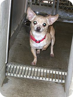 Chihuahua Mix Dog for adoption in Kelseyville, California - Paco
