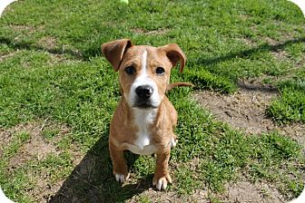 Beagle Mix Puppy for adoption in Albany, Georgia - Chomper