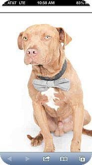 American Pit Bull Terrier Mix Puppy for adoption in Orlando, Florida - Timber