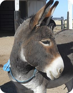 Donkey/Mule/Burro/Hinny Mix for adoption in Bennett, Colorado - Laser
