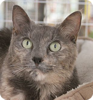 American Shorthair Cat for adoption in Palatine, Illinois - Kate