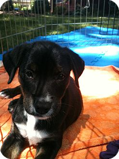 Terrier (Unknown Type, Small) Mix Puppy for adoption in Kalamazoo, Michigan - Charlie - Christine